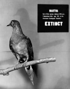 Martha, the last passenger pigeon, on display at the National Museum of Natural History. Image courtesy of the Smithsonian Institution. Click to enlarge.