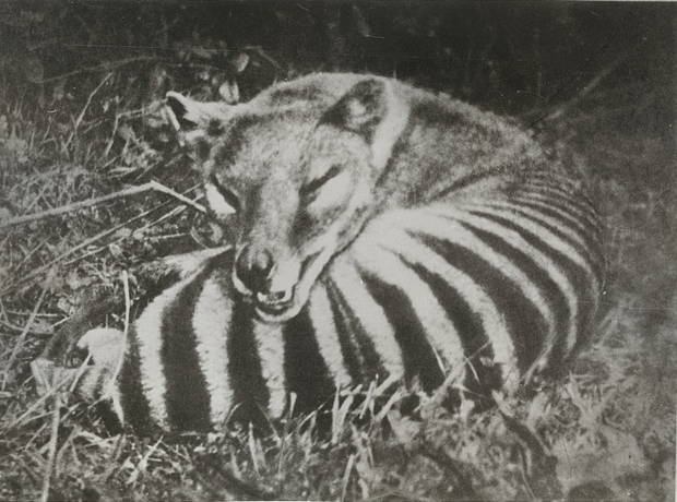 "Undated photograph of a thylacine, or ""Tasmanian Tiger."" The last thylacine died in captivity in the mid-1930s. Image courtesy of the Tasmanian Archive and Heritage Office, PH30-1-9210."