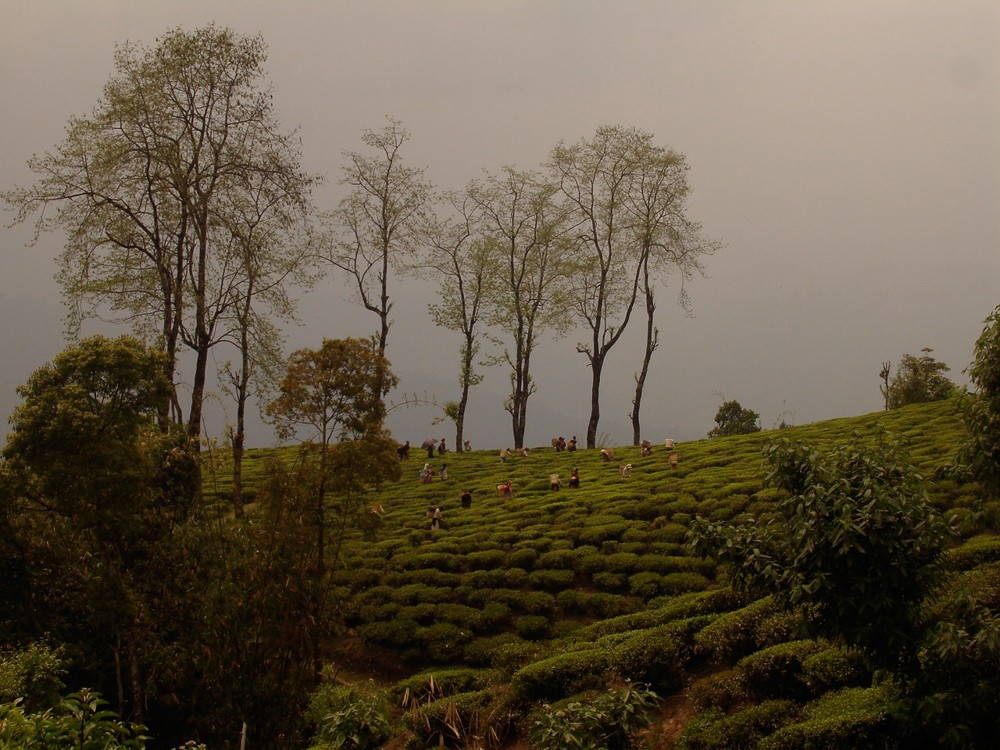 A Darjeeling tea plantation. (Photo by author.)