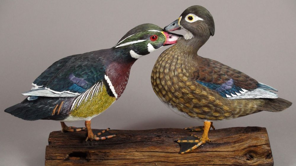 Courting wood ducks.