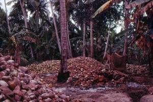 Coconuts at harvest time. Image courtesy of wikimedia commons. CC BY-SA 2.0.