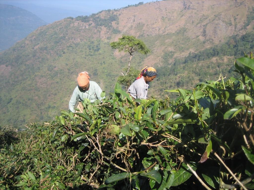 Women pick tea on a Darjeeling tea plantation. A space <em>of</em> labor. Photo: Sarah Besky.
