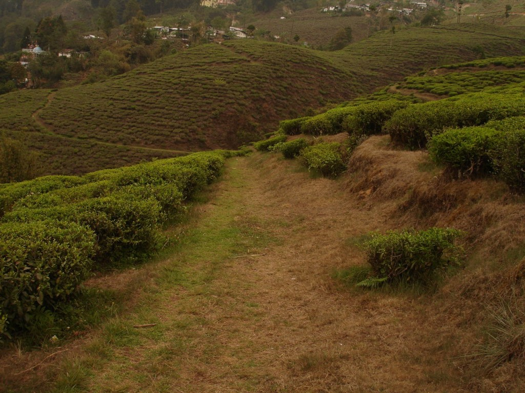 A Darjeeling tea plantation. Photo: Sarah Besky.