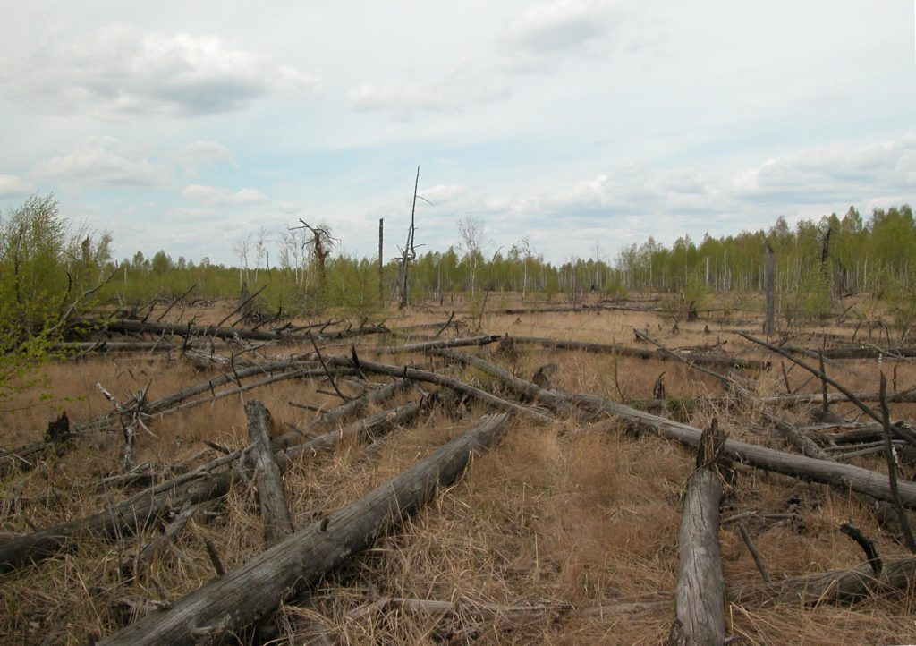 The Red Forest in Chernobyl where dead trees do not decompose. Photo by Tim Mousseau.