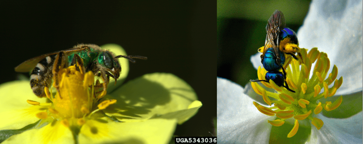 Left: Agapostemon spp., David Cappaert, CC BY-NC 3.0. Right: Augochlora pura mosieri, Bob Peterson, CC BY 2.0