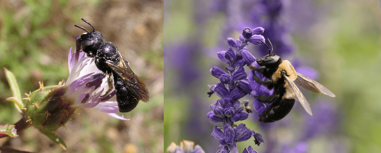 Left: Ceratina chalcites, Nigel Jones, CC BY-NC-ND 2.0. Right: Xylocopa virginica, Daniel Schwen, CC BY-SA 4.0.