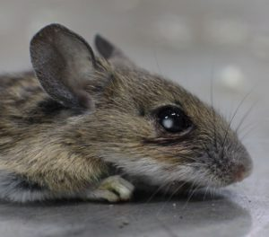 Mouse with cataract in Chernobyl. Photo by Tim Mousseau.