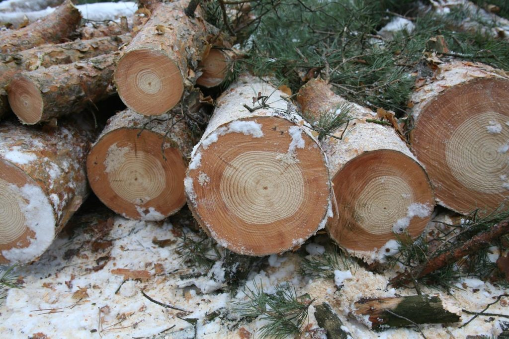 Tree rings in Chernobyl showing effects of radioactivity. Photo by Tim Mousseau.