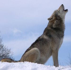 Gray wolf howling at the UK Wolf Conservation Trust, public domain.