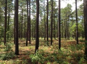 Widely-spaced longleaf trees with grass and shrub understory. Photo by author.