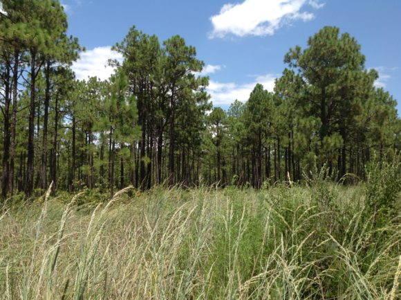 Longleaf Pine savannah