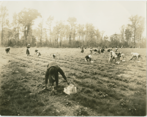African American women and children harvesting strawberries on the cutover. Catherine and Robert Yates Collection, Wilson Library, University of North Carolina at Chapel Hill.
