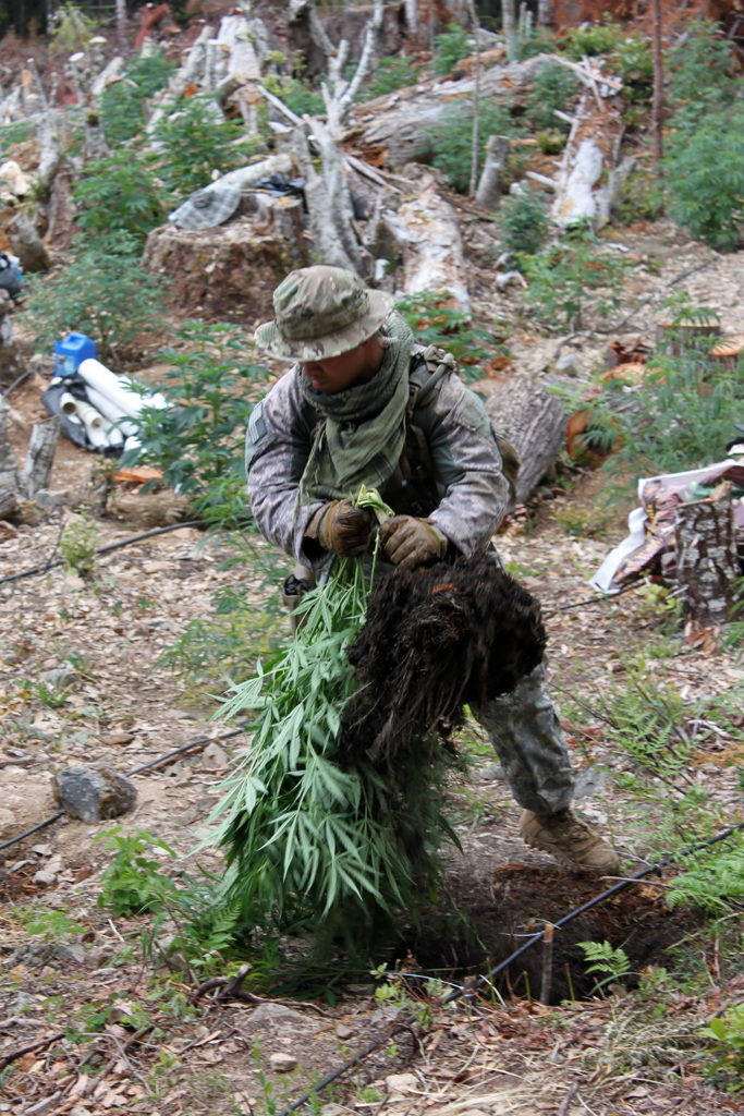 A member of the California National Guard Counterdrug Task Force destroys a cannabis plant on an illegal grow site in Humboldt County. Image by Spc. Brianne Roudebush, U.S. Army National Guard, 2014.
