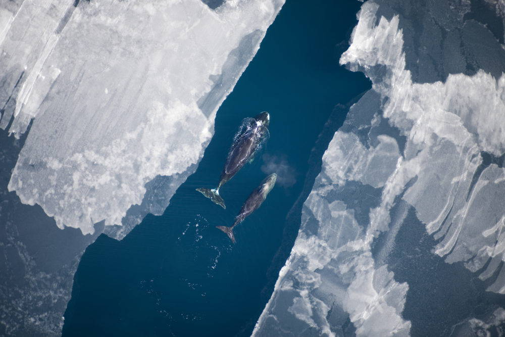 Bowhead whales follow a lead in the sea ice in the Arctic Ocean. Photo: Amelia Brower, Alaska Fisheries Science Center, NOAA Fisheries Service (public domain).