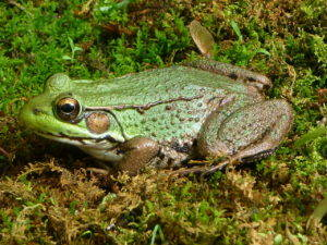 Northern Green Frog CC BY-SA 3.0