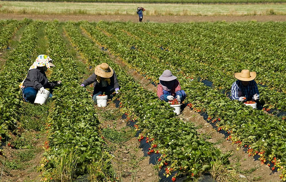 "Hmong farmworkers pick strawberries in Sonoma County, California. Photo by <a href=""https://www.flickr.com/photos/mon_oeil/4676973675/in/photolist-d4NS85-d4NSgC-bsxc3A-cr2hP5-d4NSwj-bFs4H6-7xdXap-dyH3B9-bFs4F4-7NMYFh-7NMZ9q-dyH3Eu-dyBzXK-cr2ibf-dyBzTx-aZS8k6-dyH3Jm-87SCei-7xdXYi-cr2huN-87VQ47-d4NS1w-bFs4CT-aZS3dH-d4NREJ-7NJ2qe-aZS8tg-7xdYfc-7xdXzv-cqZPa3-aZS8qg-88hHka"" target=""_blank"">Ah Zut</a>, June 2010."