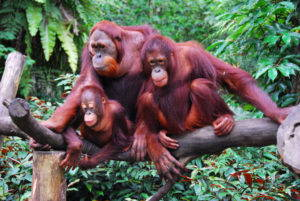 "A family of orangutan, April 2008. Image by Robert Young via <a href=""https://www.flickr.com/photos/robertpaulyoung/2955047300#"" target=""_blank"">Flickr</a>."