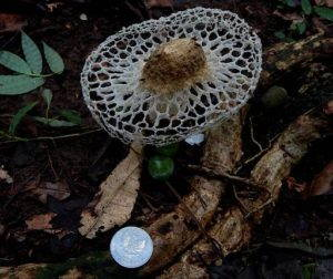 "A mushroom on the floor of a forest in Bogor, Indonesia, is compared to a coin, January 2016. Photo from <a href=""https://commons.wikimedia.org/wiki/File:Phallus_sp.Indonesia.jpg#"" target=""_blank"">Wikimedia Commons</a>."
