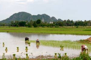 Women planting rice during the rainy season. Photo by W. Nathan Green.