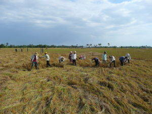 Agricultural work party harvesting rice together. Photo by W. Nathan Green