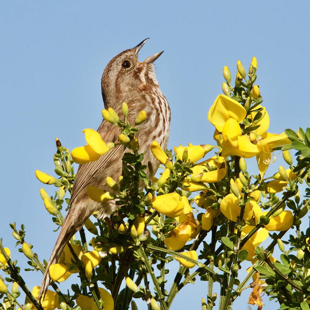 A small brown songbird with white stripes opens its beak and sings while perched in a tree with bright yellow flowers blooming.
