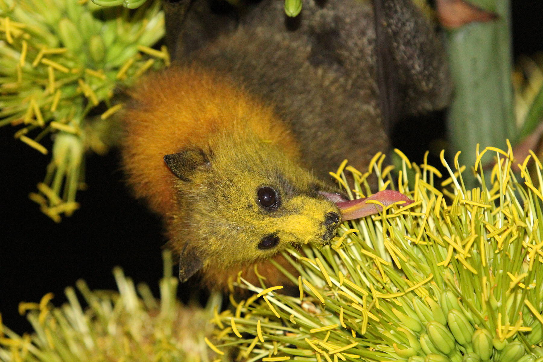 A bat, covered with yellow dust, sticks its long tongue down into the stamin of a yellow flower blossom.