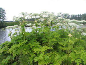 Giant Hogweed, Heracleum mantegazzianum. Image from Wikipedia.