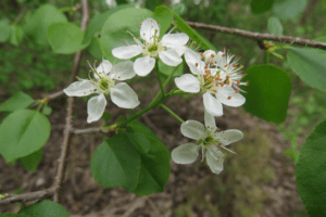 Wild cherries bloom near Mill Creek. Photo by the author.