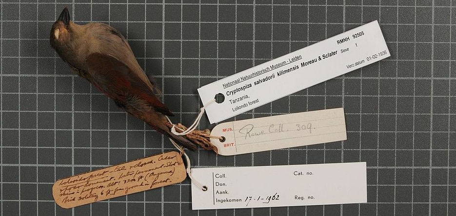 A bird skin specimen collected by English civil servant and ornithologist R.E. Moreau in the 1930s, likely with the aid of his chief vernacular birding collaborator, Salimu Asmani.. Image from wiki commons.