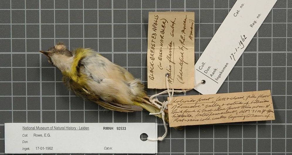 Bird skin specimen from a late nineteenth century birding expedition in Tanzania. Image from wikimedia commons.