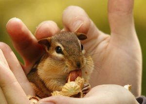 A chipmunk enjoys a peanut from a human hand.